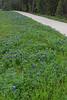 2011 03 16 Flowers Terramont bluebonnet path