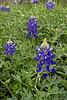 2011 03 16 Flowers Terramont bluebonnets start to line up