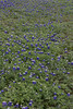 2011 03 16 Flowers Branch Crossing bluebonnets