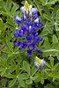 2011 03 16 Flowers An early bluebonnet