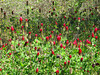 2013 03 06 Flowers TW crimson clover