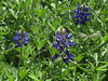2013 03 06 Flowers TW early bluebonnet trio