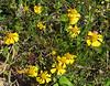 2013 03 06 Flowers TW yellow tangle (Groundsel)