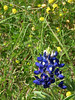 2013 03 06 Flowers TW blue and gold (bluebonnet and low hop clover)