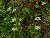 2013 03 27 Flowers Woods Corn Salad along TX159 near Industry