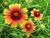 2013 06 15 Flowers Firewheel trio