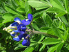 2013 03 06 Flowers TW a thirsty bluebonnet