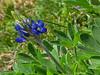 2013 03 06 Flowers TW bluebonnet sprout