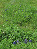 2013 03 06 Flowers TW a promising batch of bluebonnets along Terramont Drive