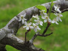 2014 03 11 TW Flowers Pear blossums branch