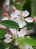 2014 03 11 TW Flowers See through cherry blossum