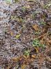 2014 TX 59W Bluebonnet rosettes in the backyard snow 01282014