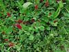 2014 03 11 TW Flowers Crimson clover and vetch