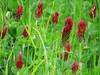 2014 03 11 TW Flowers Crimson clover