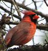 2014 02 22 TX 59W Male cardinal 100 percent crop