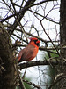 2014 02 22 TX 59W Male cardinal