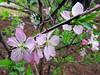 2014 02 19 TX Flowers 59W Early cherry bush blooms