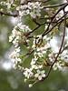 2014 03 01 TX 59W Pear blossoms