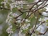 2014 03 01 TX 59W Backyard pear blossoms