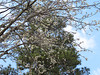 2014 03 01 TX 59W Pear blossoms and pine before ice storm