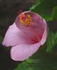 2016 06 13 59W Good morning hibiscus