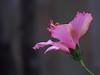 2016 12 17 59W December hibiscus