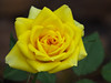 2016 12 27 59W Jodis yellow rose closeup