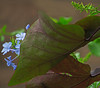 2016 06 04 59W Plumbago peeks around the pansy red leaves