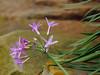 2016 06 04 59W Society garlic blooms and rocks