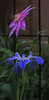2016 04 19 59W Iris in front of the clematis vine