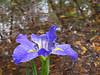 2016 04 19 59W Flooded iris