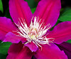 2016 04 19 59W Red clematis