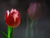2016/01 Double  pane tulip