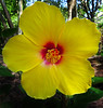 2016 06 11 59W yellow hibiscus head on