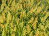 2016 07 24 TW Grasses 02