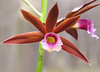 2016 04 09 MG Mercer orchid