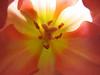 2016/01 Pistol packing tulip