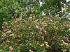 2016 03 31 59W Big volunteer lantana bush