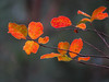 2016 12 17 59W Autumn crepe leaves out on a limb