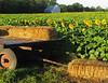 2018 09 11 KS Grinter sunflower field