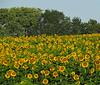 2018 09 11 KS Grinter sunflower field on a sunny day