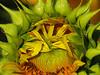 2018 09 11 KS Grinter sunflower field abstract