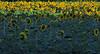 2018 09 11 KS Grinter sunflower field one third sunny