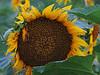 2018 09 11 KS Grinter sunflower field almost done