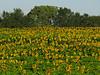 2018 09 11 KS Grinter sunflower field on a poor year