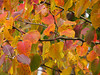 2013 12 59W Autumn pear leaves