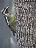 12 12 25 Birds Backyard woodpecker 02