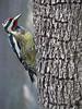 12 12 25 Birds Backyard woodpecker 02