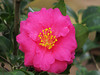 2013 12 59W Pink camelia bloom