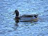 2012 12 17 Places North Shore duck